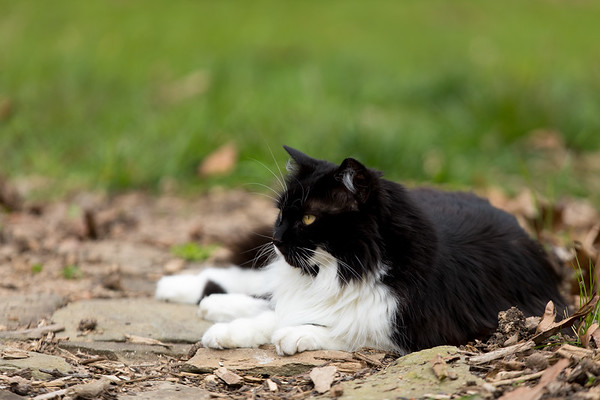 Tuxedo cat laying on garden path