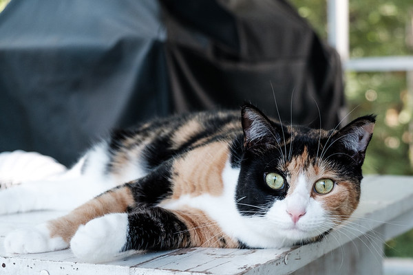 Calico cat on table on porch