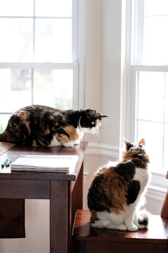 Two calico cats on a table