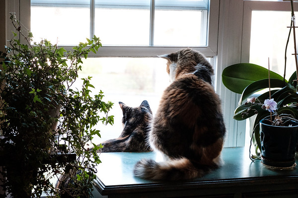 2 Calico cats looking out window