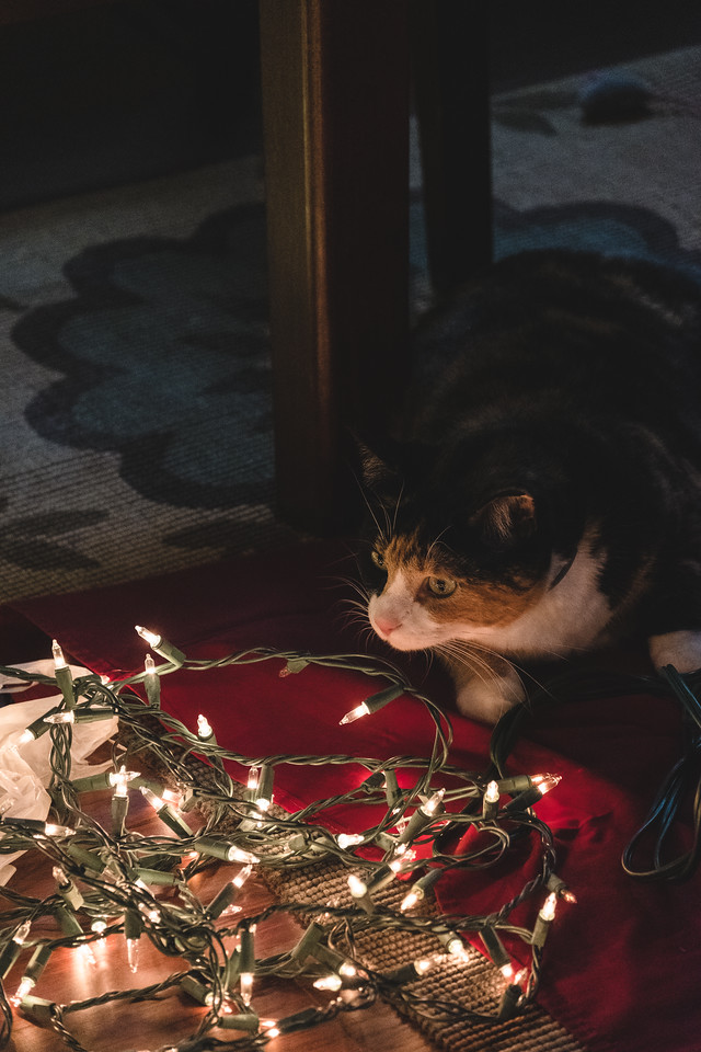 Calico cat and Christmas Tree lights
