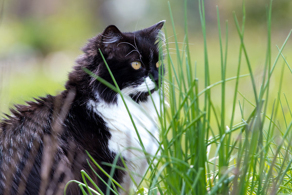 Tuxedo cat outside with chives