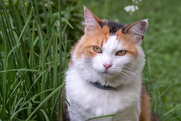 Calico cat in chives