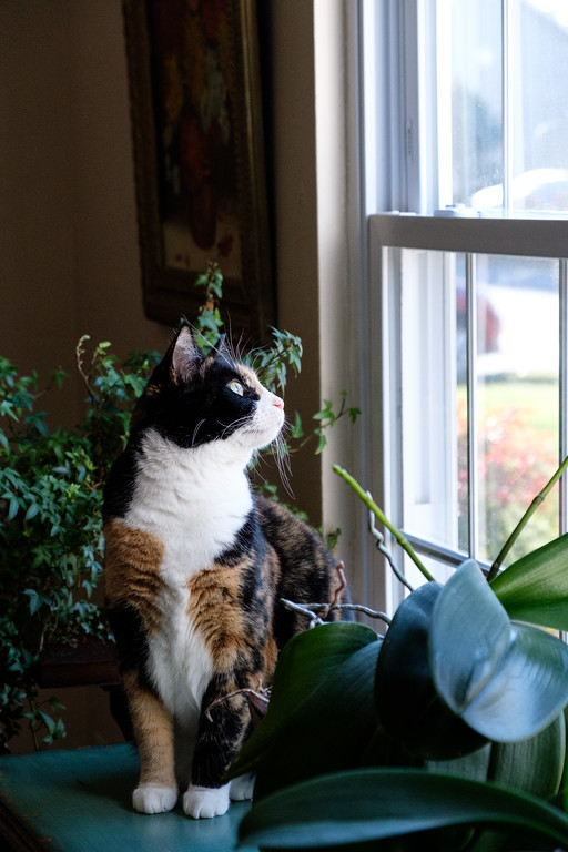 Calico cat looking out the window with orchid plants