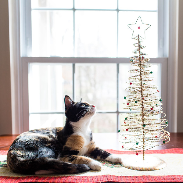 Calico cat looking at little Christmas Tree