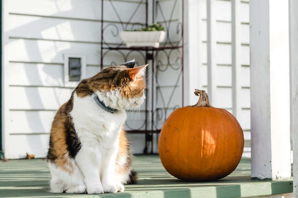 Calico cat looking at a pumpkin