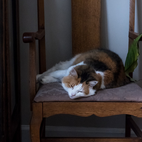 Calico cat on chair, sleeping.
