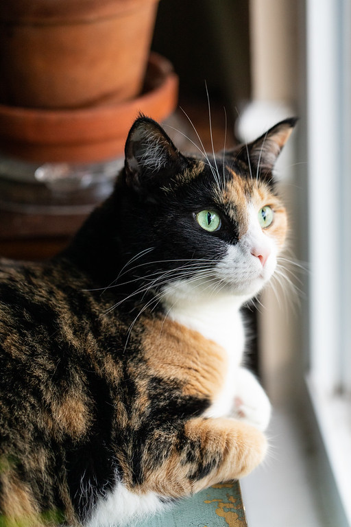Calico cat with it's paws curled under it.