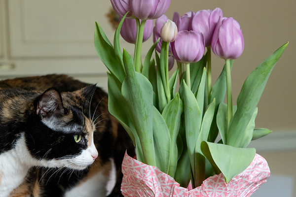 Calico cat with Tulips in a pot.