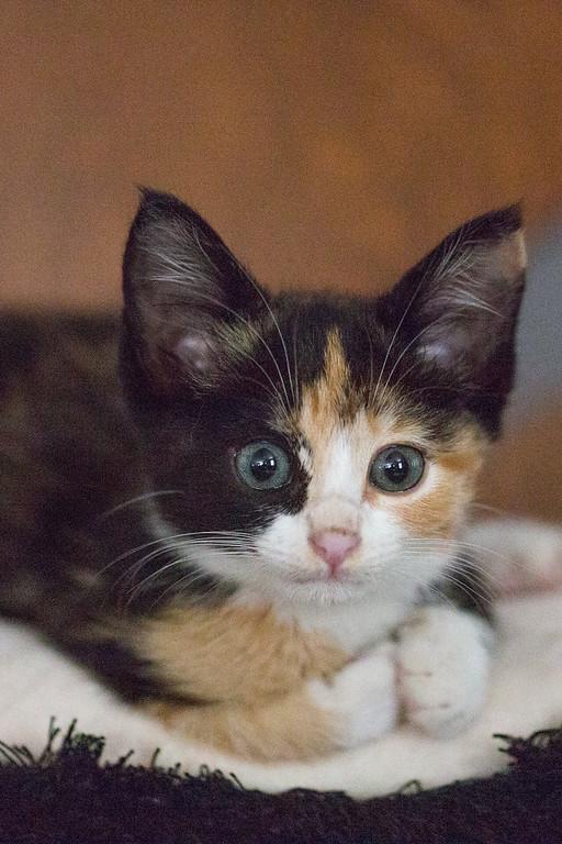 A calico kitten.
