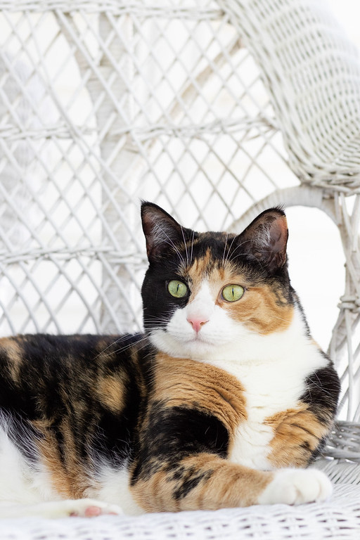 Calico cat on wicker furniture.