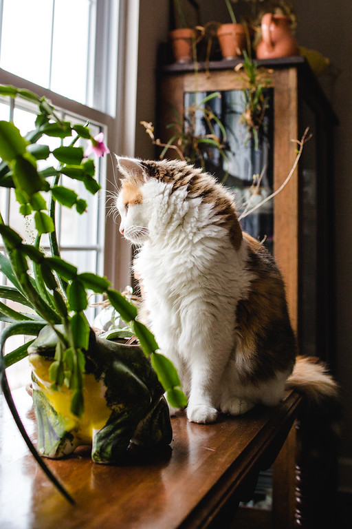 Calico cat at the window.