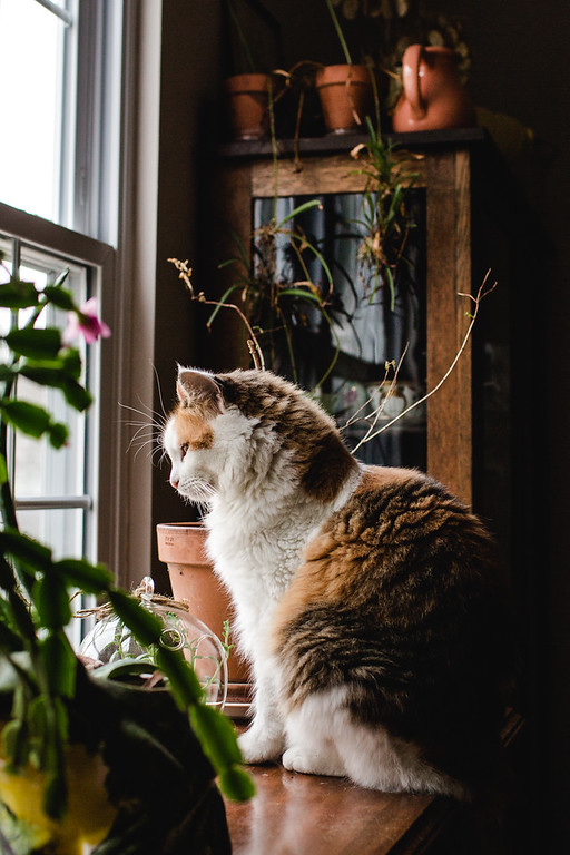 A calico cat looking out the window.