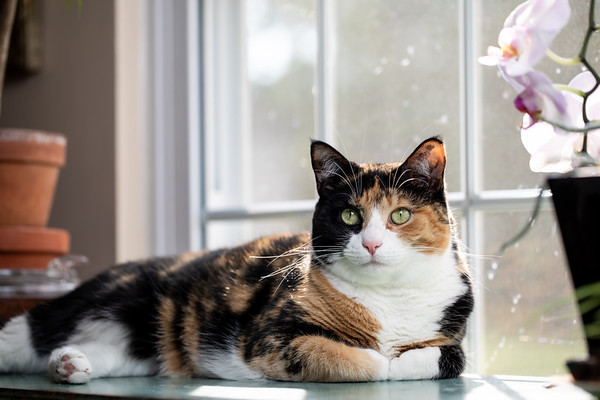 Calico cat laying on a table in front of a window.