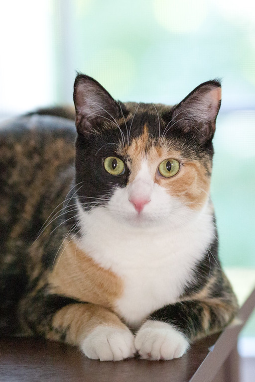 Calico cat sitting on a table.