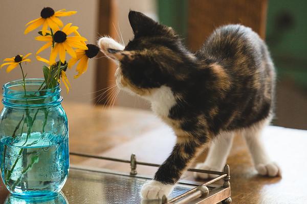 Calico kitten pawing at orange flowers