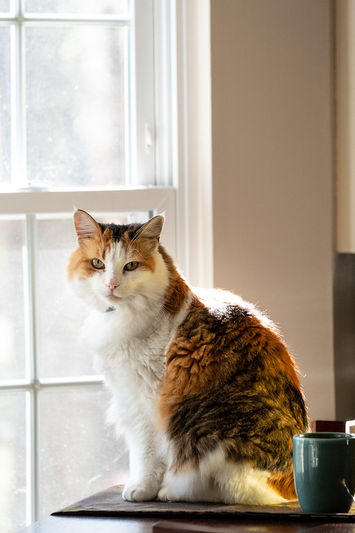 Calico cat looking at the camera in front of a window.