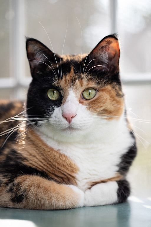 Calico cat with paws curled under her looking at the camera.
