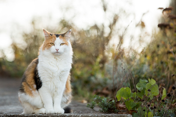 Calico cat on the sidewalk