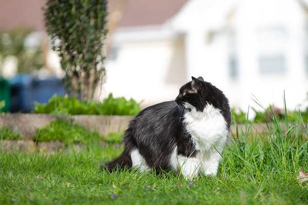 Black and white cat in the yard, looking over her shoulder.