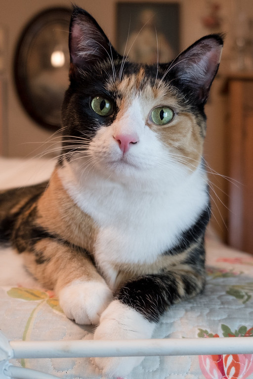 Calico cat on a bed