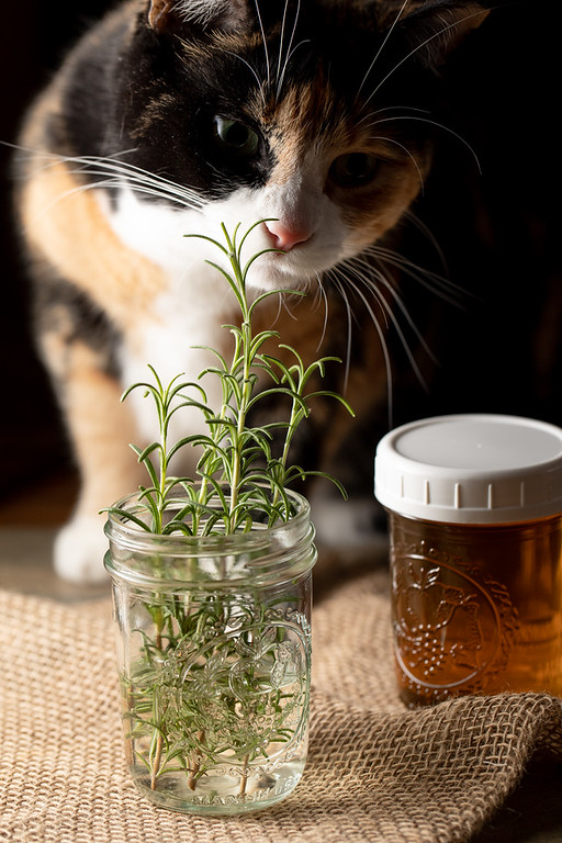 Calico cat and rosemary.