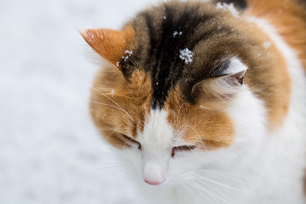 Snow flake on calico cat's head.