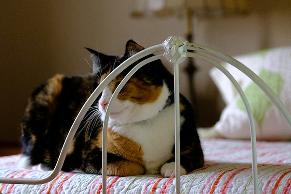 Calico cat on iron bed
