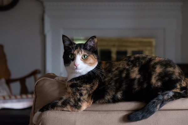 Calico kitty Luxie on the back of a loveseat.