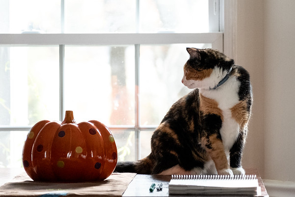 Calico cat on a table with a ceramic pumpkin.