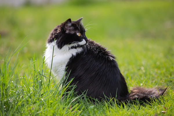 Black and white cat looking over her shoulder in the grass.