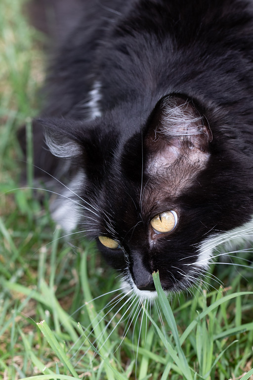 Black and white cat sniffing the grass.