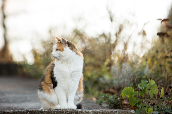 Calico cat looking away