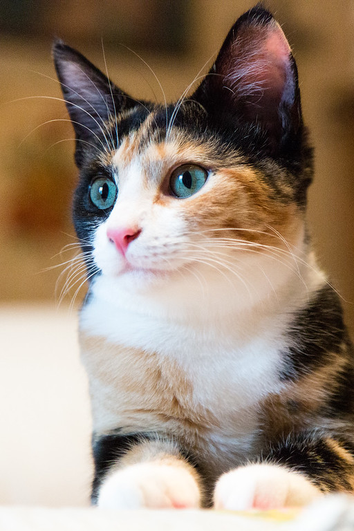 Calico kitten looking off to the side.