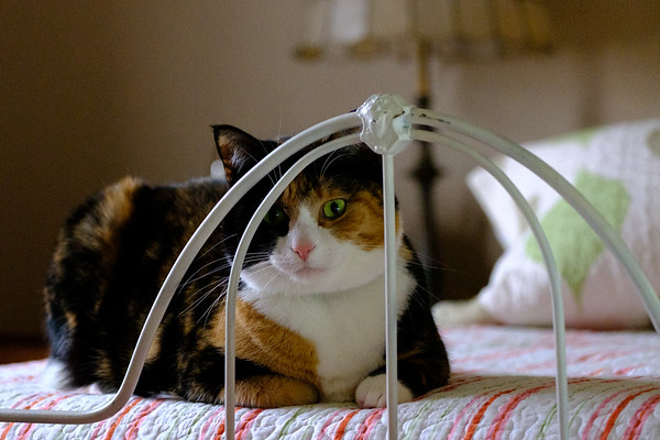 Calico cat looking through the rails of an antique iron bed.