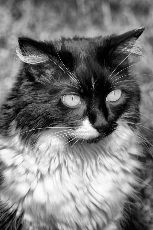 Black and white cat edited with Topaz Labs.