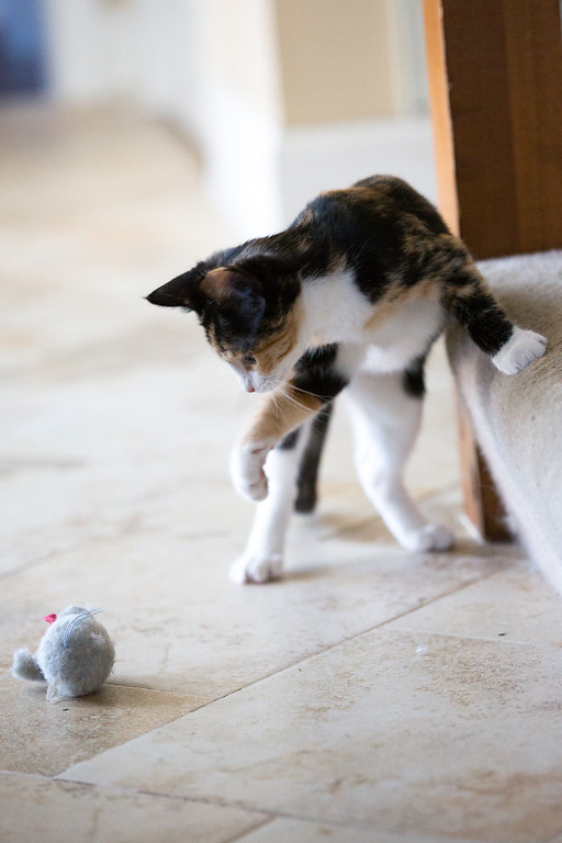 Calico cat and her toy.