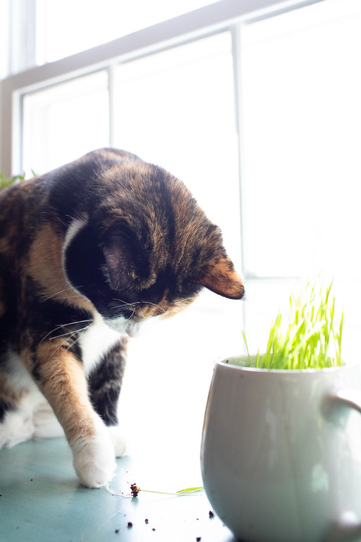 Calico cat pulling cat grass out of a mug.