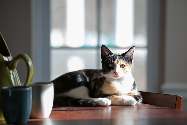Calico cat laying on a table.