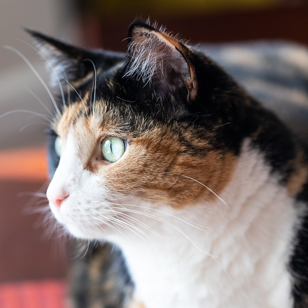 Calico cat looking out the window.