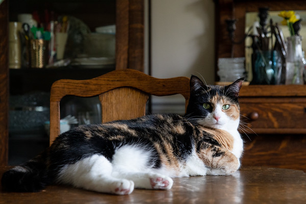 Calico cat on the dining room table.