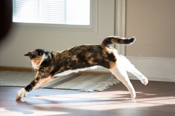 Calico kitten leaping through the air.