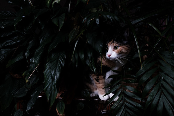 Calico cat hidden in houseplants