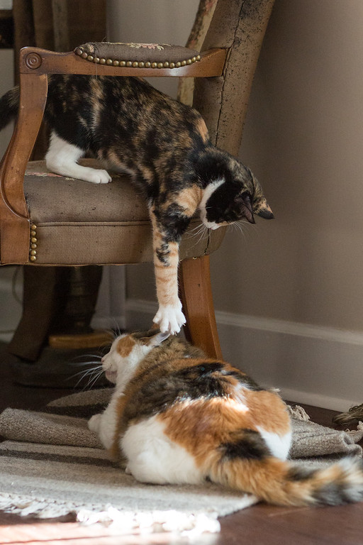 Calico kitten in a chair reaching for a calico cat on the floor.