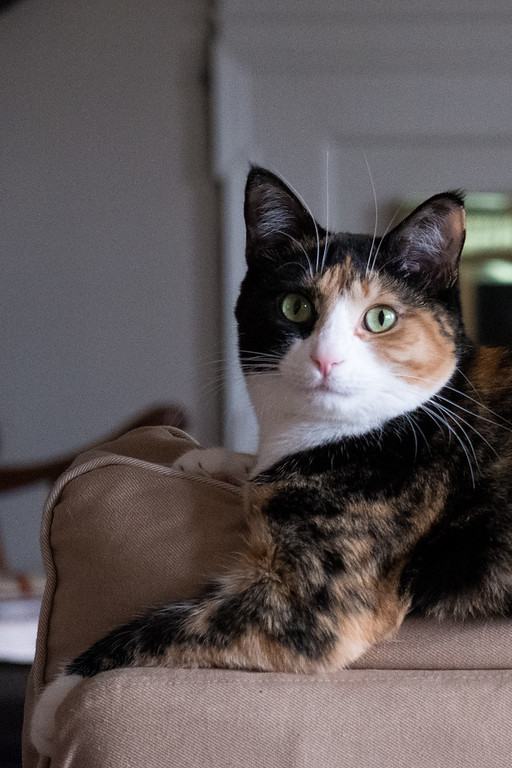Calico cat on the back of a couch