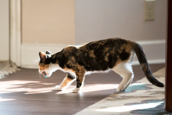 Calico kitten walking and carrying a toy mouse.