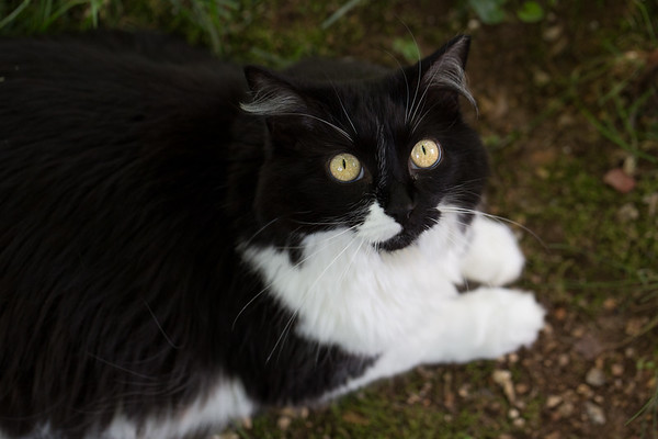 Black and White Cat looking up at the camera.