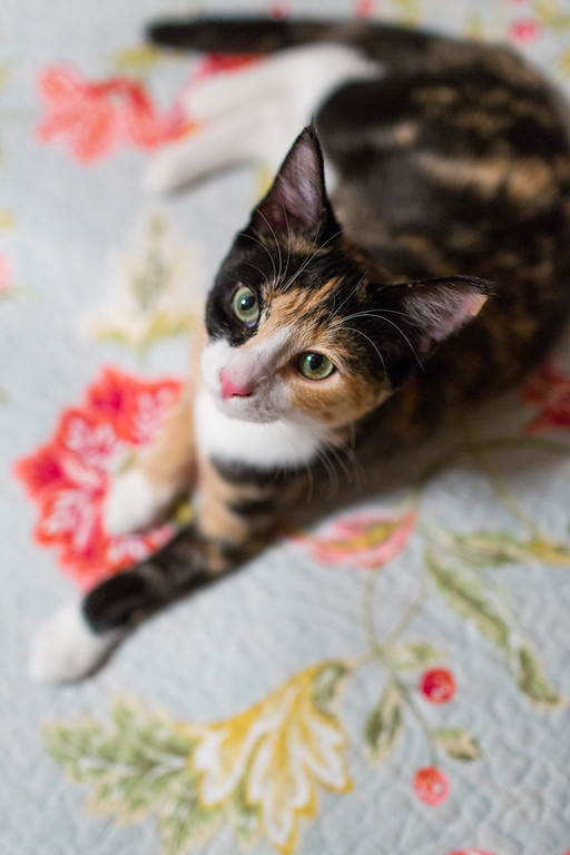 Calico cat on a quilt looking up
