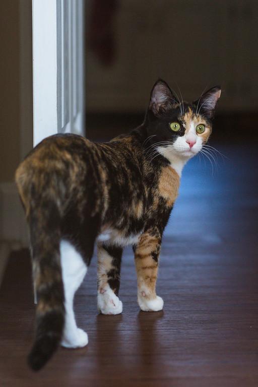 Calico cat looking back over her shoulder.