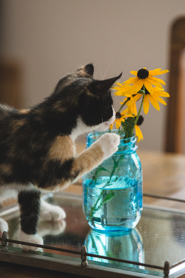 Calico kitten and black-eyed susan flowers